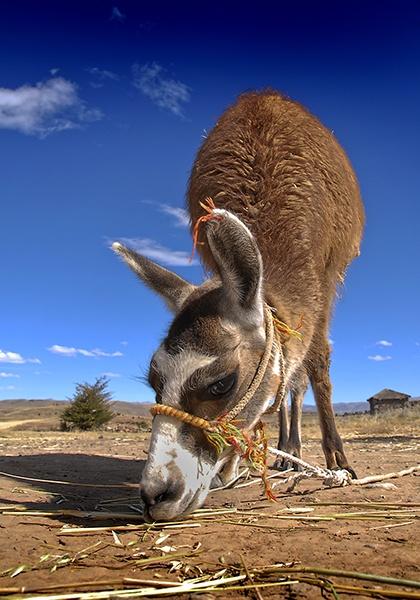 Llama by philsmed