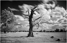 Old Tree 2
