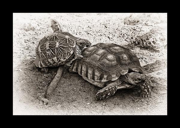 African Spurred Tortoise by Saigonkick