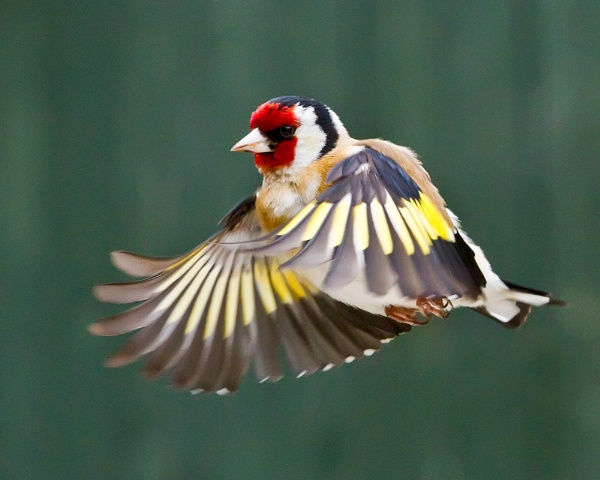 Goldfinch by canonfan46