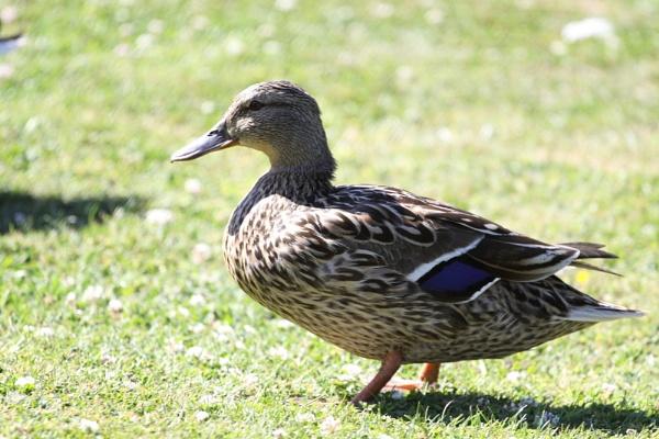 Mrs Duck by striker1998