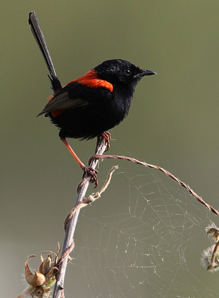 \'\'Male Red-backed Fairy Wren\'\' by Bowenite
