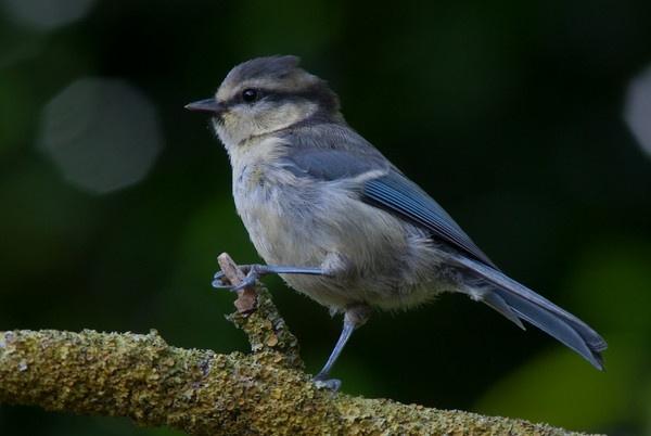 juvenile blue tit by kieranmccay