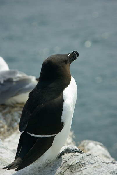 Razorbill by saltholme
