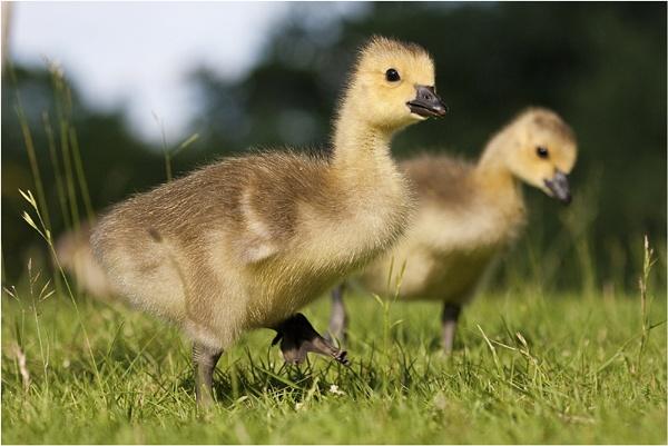 Goslings by Phil32