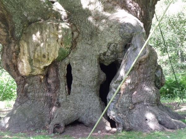 Robin Hoods Tree by kibp