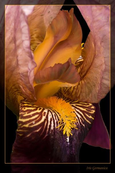 Iris Germanica by Alan_Baseley
