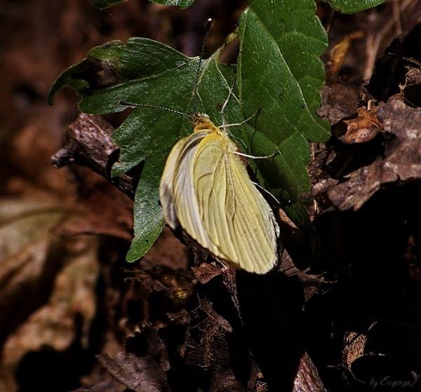 butterfly by Evgenya