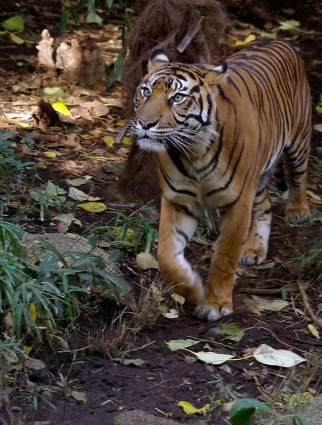 Sumatran Tigress. by bigredtim