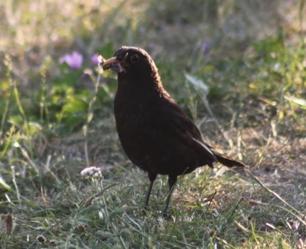 Blackbird by mark_wood