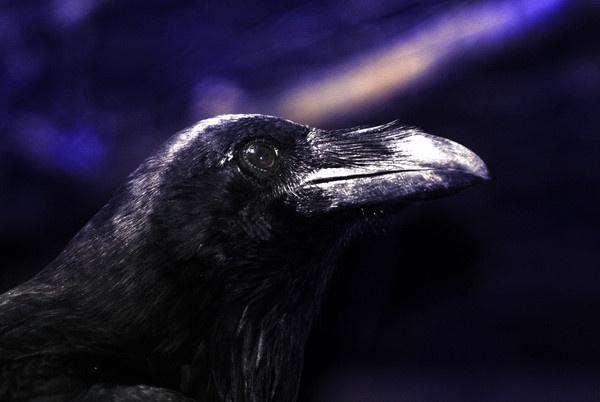 Corvus Corvax - Common Raven by Sona_Northy