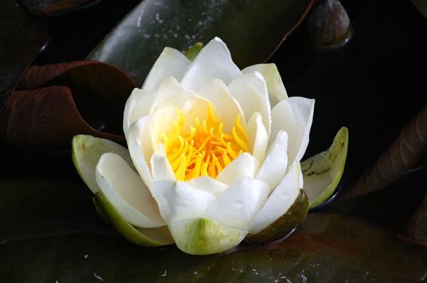 waterlilly flower by wisk