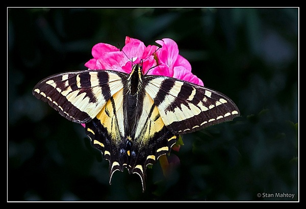 Western Tiger Swallowtail by alpha788