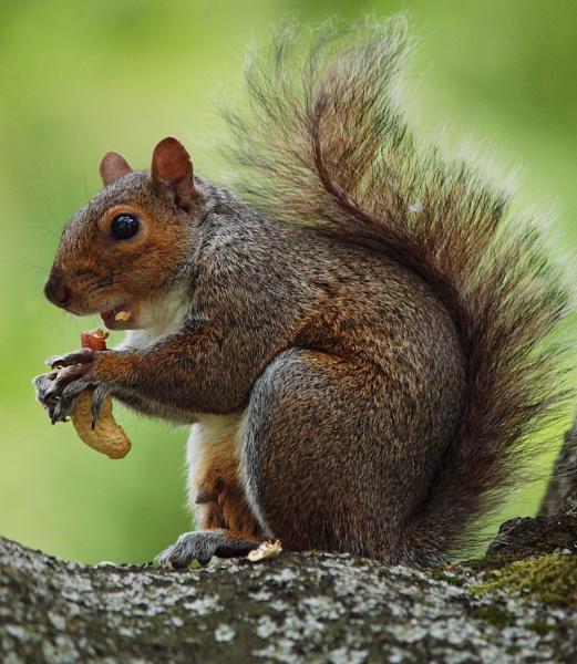 Natural Squirrel by chensuriashi