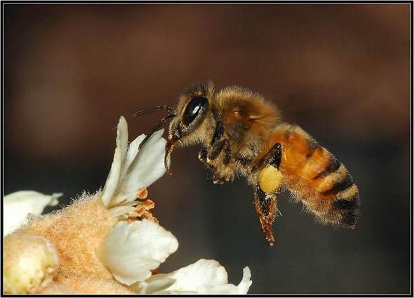 Honeybee on Japanese sunflower by Bertadd