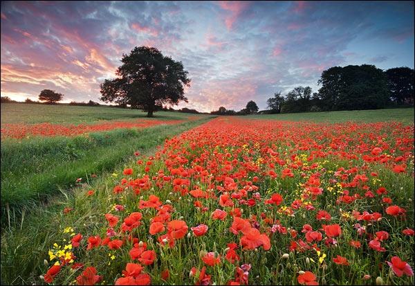Poppy Field by LeighRebecca