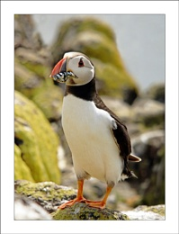 Puffin on the rocks