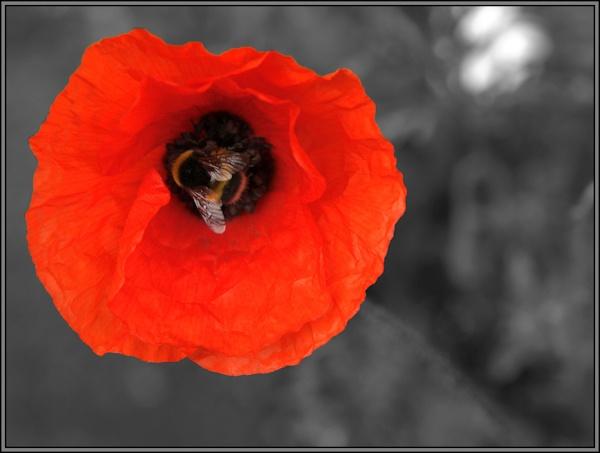 Poppy love by iainmacd