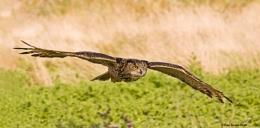 European Eagle Owl (C)