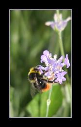Buzzing lavender bush !