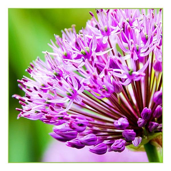 Allium by Kot