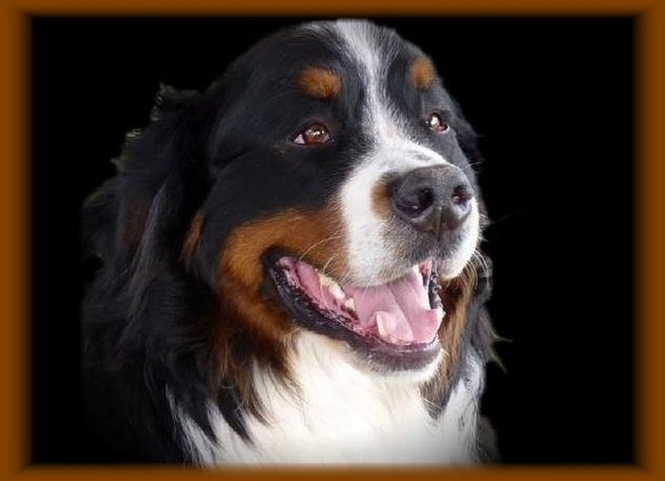 Bernese Mountain Dog by kittlekottage