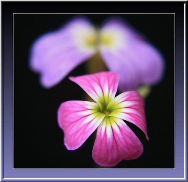 Soft Flowers by jdgrimsay