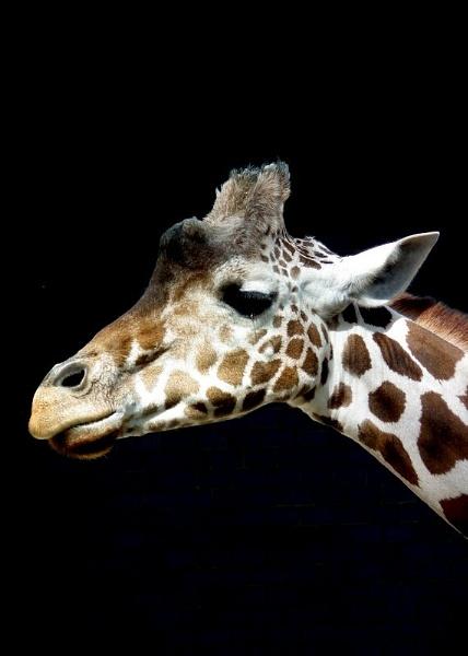 Giraffe by piperpics