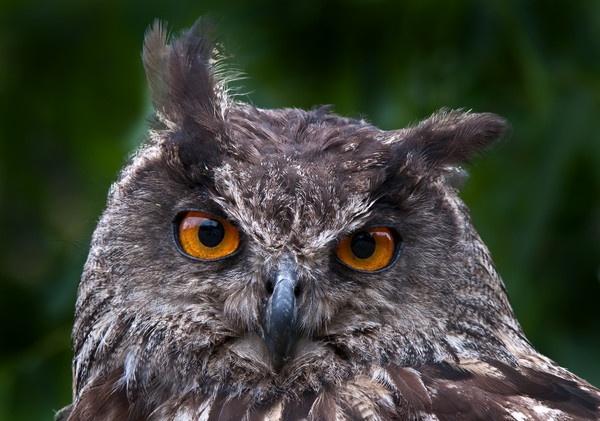 European Eagle Owl 3 by kieranmccay
