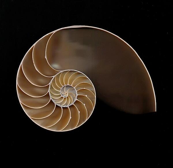 Chambered Nautilus Shell by jbsaladino