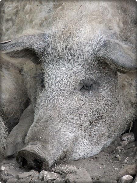 Piggy siesta by lenalull
