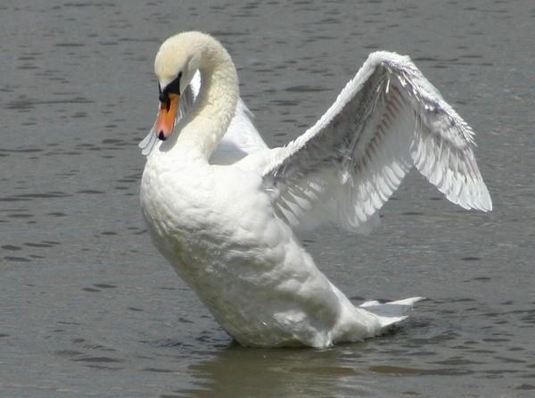 mistley swan by horus2097