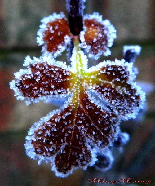 Frosty Hawthorn by MingM