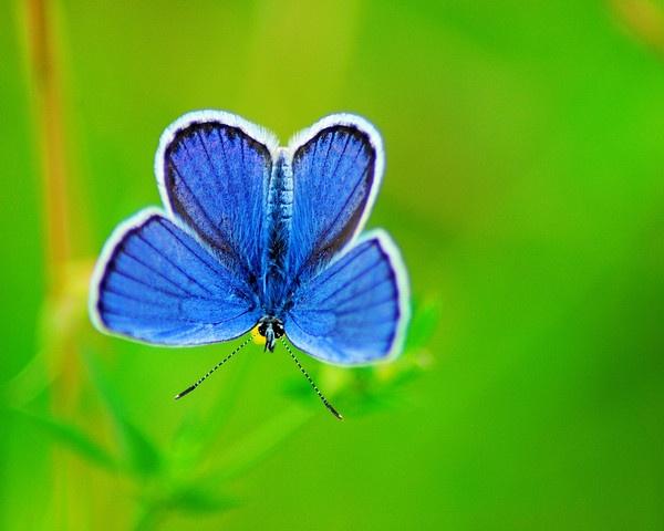Deep blue - Common Blue Butterfly by gabriel_flr