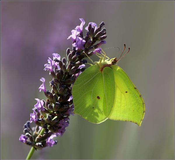 Lavender Green by celestun