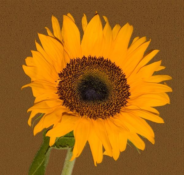 Sunflower by Artois
