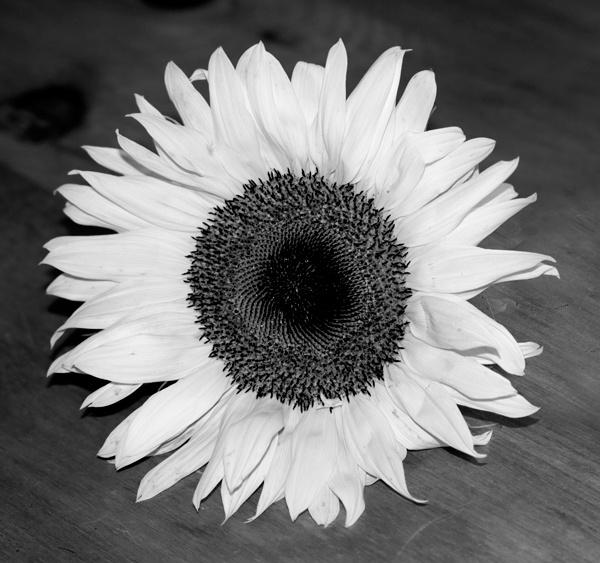 Mono Sunflower by Artois