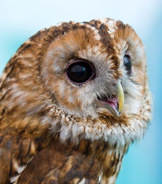 Owl portrait by michaelo