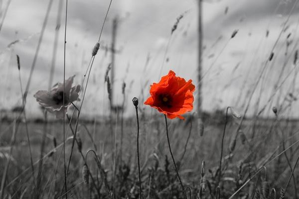 poppy seed by michaelo