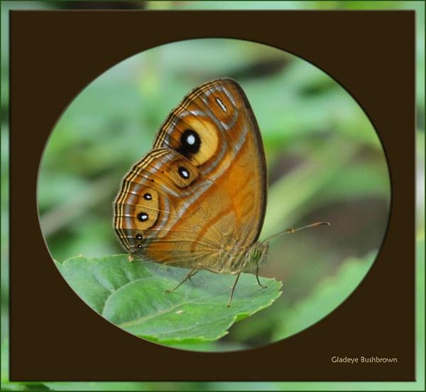 Gladeye Bushbrown by rshanthini