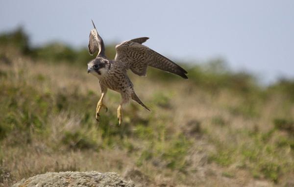 peregrin falcon by sheepdogshady