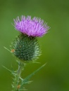 Thistle Flower by dnwilliams at 17/07/2010 - 5:32 PM