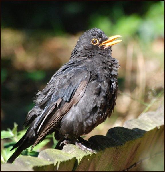 Blackbird by gerrymac