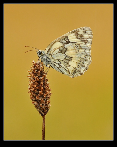 Marbled White by tubbtubby