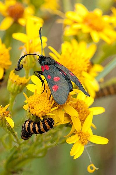 Beetle Passenger on Six-Spot Burnet Moth by BrianWatson