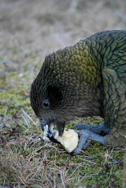 NZ Wild Kea by Bondgirl