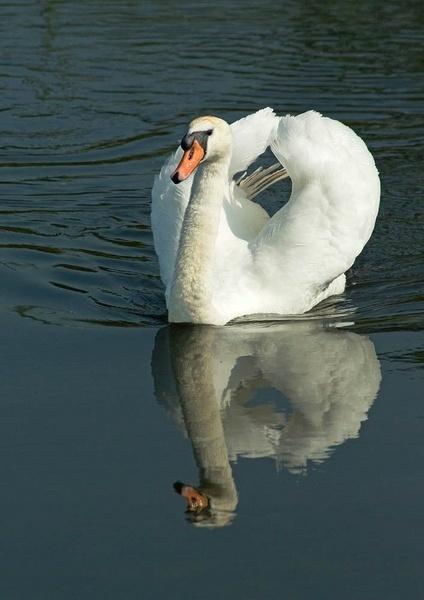 Swan by Trubshore