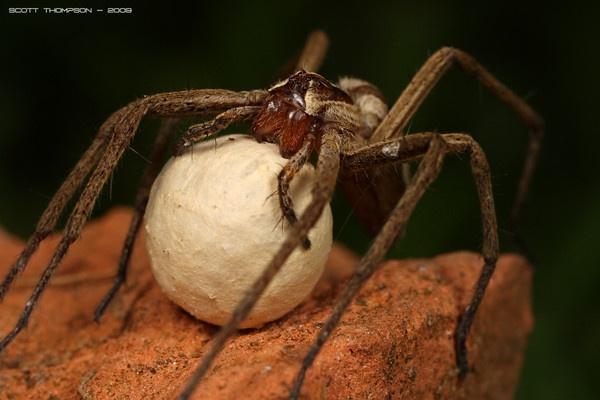 nursery spider with egg sack by macro-junkie
