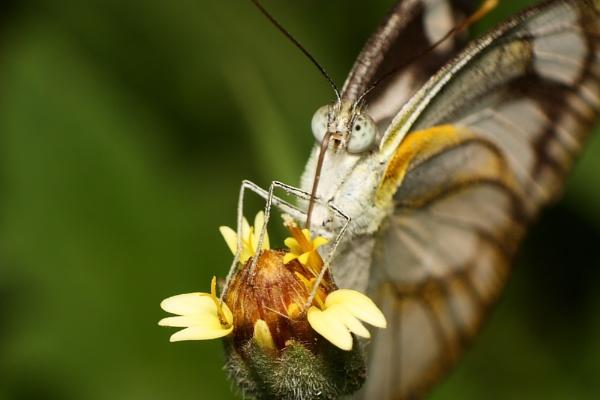 Skipper Butterfly by marco_delvalle1