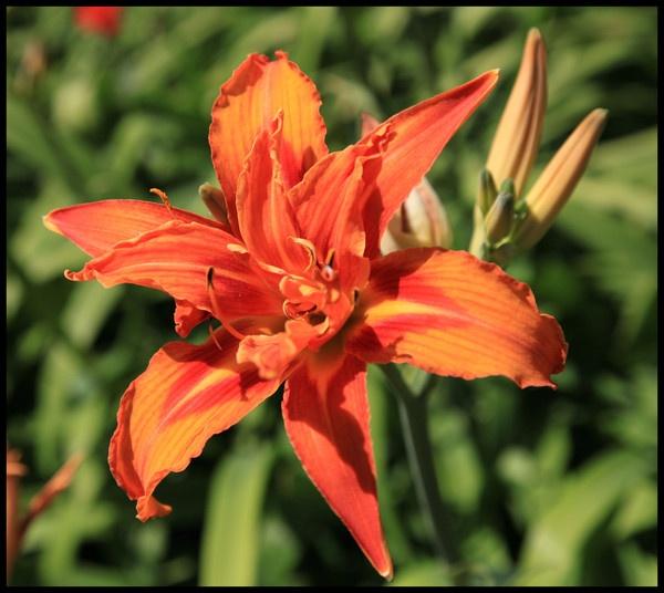 Orange Flower by Ladynina